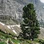 60875_nature_s_design_pinus_cembra_fragrance_pine_2