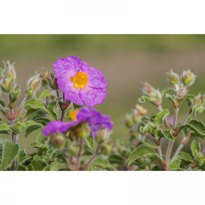 Cistrose te av hele blomster, blader og knopper – økologisk, premium kvalitet